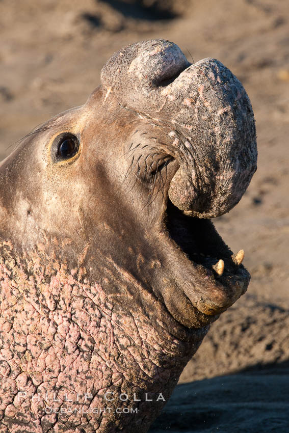 Northern elephant seal., Mirounga angustirostris, natural history stock photograph, photo id 26705