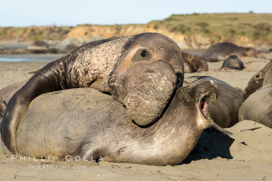A bull elephant seal forceably mates (copulates) with a much smaller female, often biting her into submission and using his weight to keep her from fleeing. Males may up to 5000 lbs, triple the size of females. Sandy beach rookery, winter, Central California. Piedras Blancas, San Simeon, USA, natural history stock photograph, photo id 35132