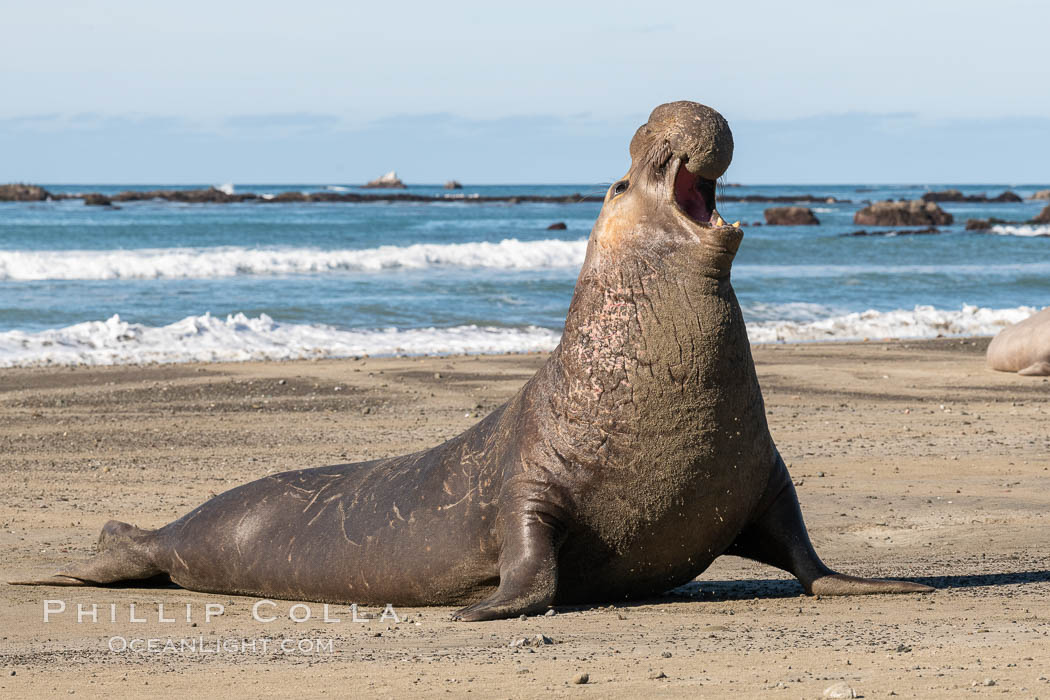 Bull elephant seal, adult male, bellowing. Its huge proboscis is characteristic of male elephant seals. Scarring from combat with other males. Piedras Blancas, San Simeon, California, USA, natural history stock photograph, photo id 35143