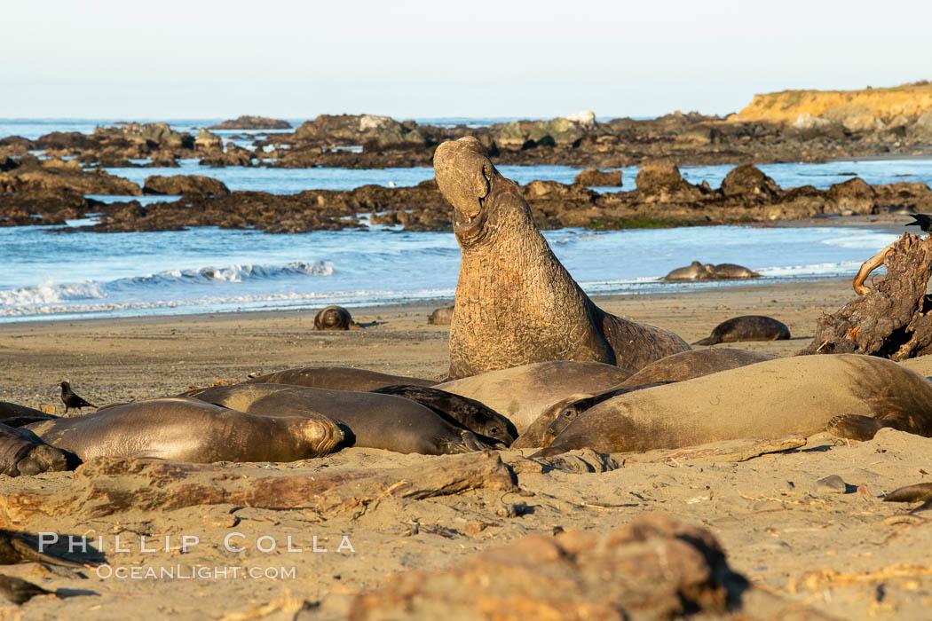Northern elephant seals, Piedras Blancas. Piedras Blancas, San Simeon, California, USA, natural history stock photograph, photo id 35151