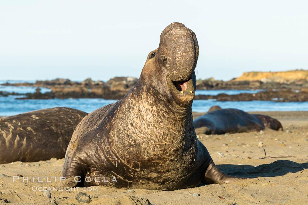 Bull elephant seal, adult male, bellowing. Its huge proboscis is characteristic of male elephant seals. Scarring from combat with other males. Piedras Blancas, San Simeon, California, USA, natural history stock photograph, photo id 35149