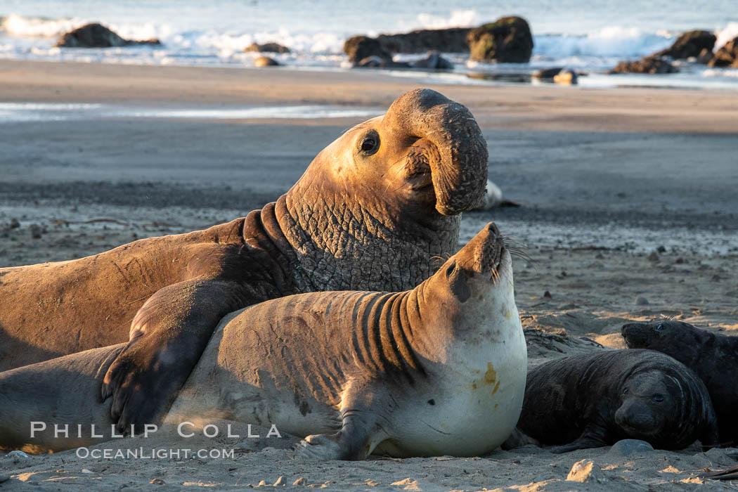Northern elephant seals, Piedras Blancas. Piedras Blancas, San Simeon, California, USA, natural history stock photograph, photo id 35153