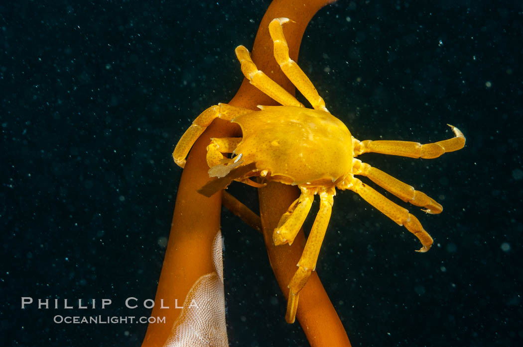 Northern kelp crab crawls amidst kelp blades and stipes, midway in the water column (below the surface, above the ocean bottom) in a giant kelp forest. San Nicholas Island, California, USA, Pugettia producta, Macrocystis pyrifera, natural history stock photograph, photo id 10222