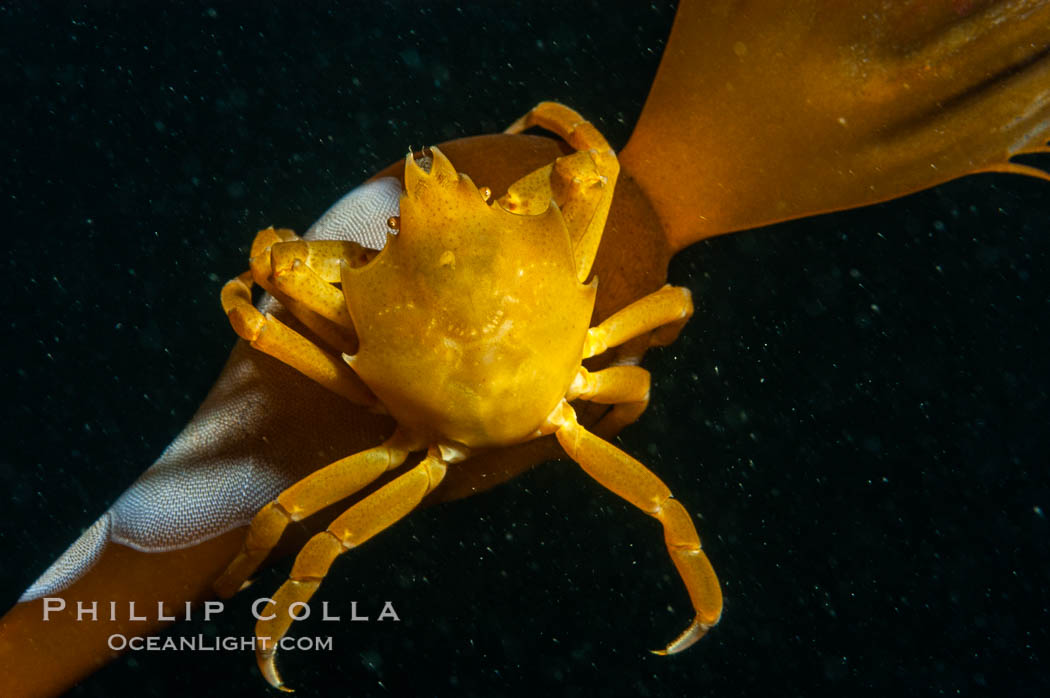 Northern kelp crab crawls amidst kelp blades and stipes, midway in the water column (below the surface, above the ocean bottom) in a giant kelp forest. San Nicholas Island, California, USA, Pugettia producta, Macrocystis pyrifera, natural history stock photograph, photo id 10219
