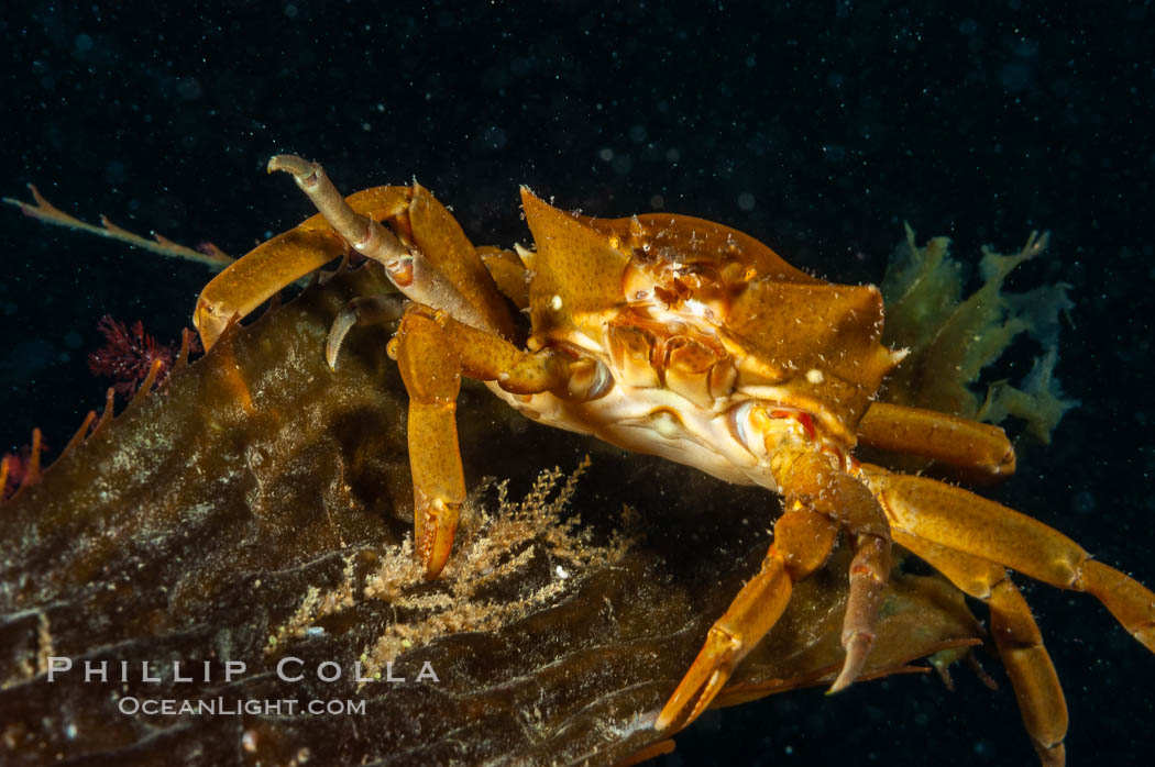 Northern kelp crab crawls amidst kelp blades and stipes, midway in the water column (below the surface, above the ocean bottom) in a giant kelp forest. San Nicholas Island, California, USA, Pugettia producta, Macrocystis pyrifera, natural history stock photograph, photo id 10217