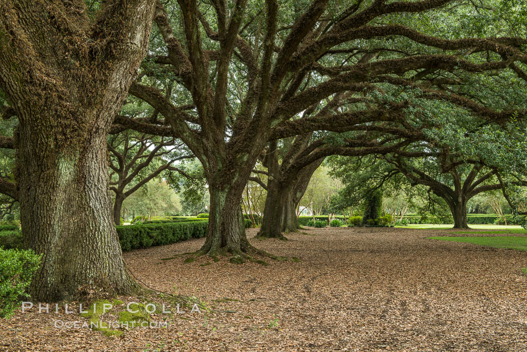 Oak Alley Plantation and its famous shaded tunnel of  300-year-old southern live oak trees (Quercus virginiana).  The plantation is now designated as a National Historic Landmark. Oak Alley Plantation, Vacherie, Louisiana, USA, Quercus virginiana, natural history stock photograph, photo id 31006