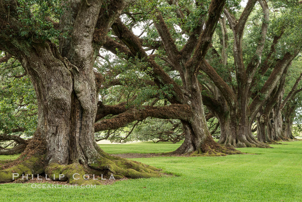 Oak Alley Plantation and its famous shaded tunnel of  300-year-old southern live oak trees (Quercus virginiana).  The plantation is now designated as a National Historic Landmark. Vacherie, Louisiana, USA, Quercus virginiana, natural history stock photograph, photo id 31000