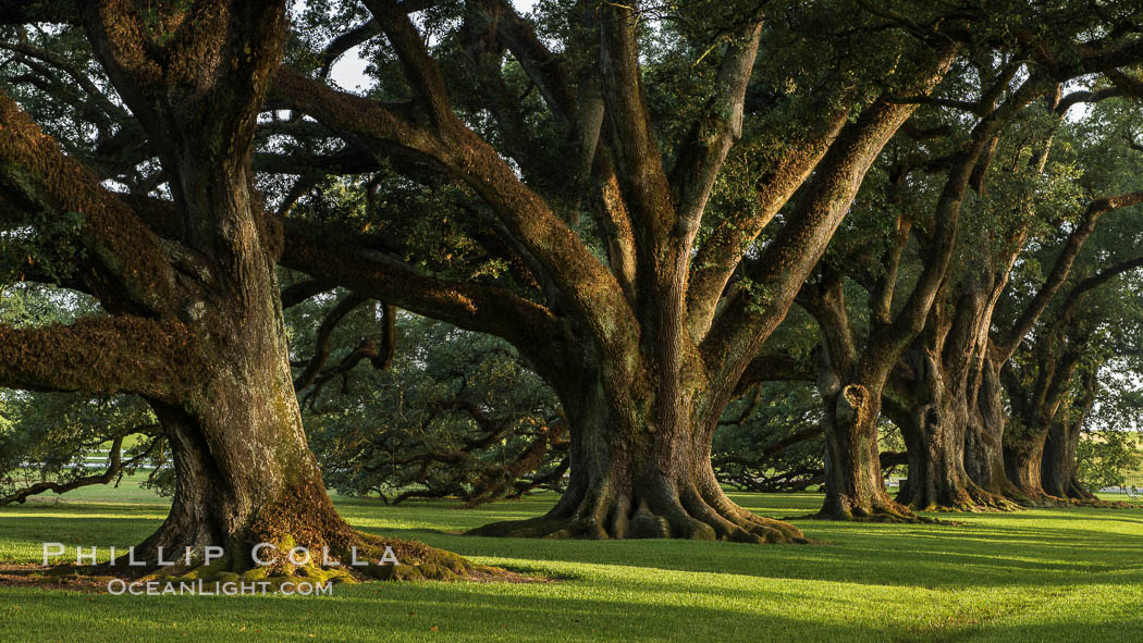 Oak Alley Plantation And Its Famous Shaded Tunnel Of 300 Year Old Southern Live