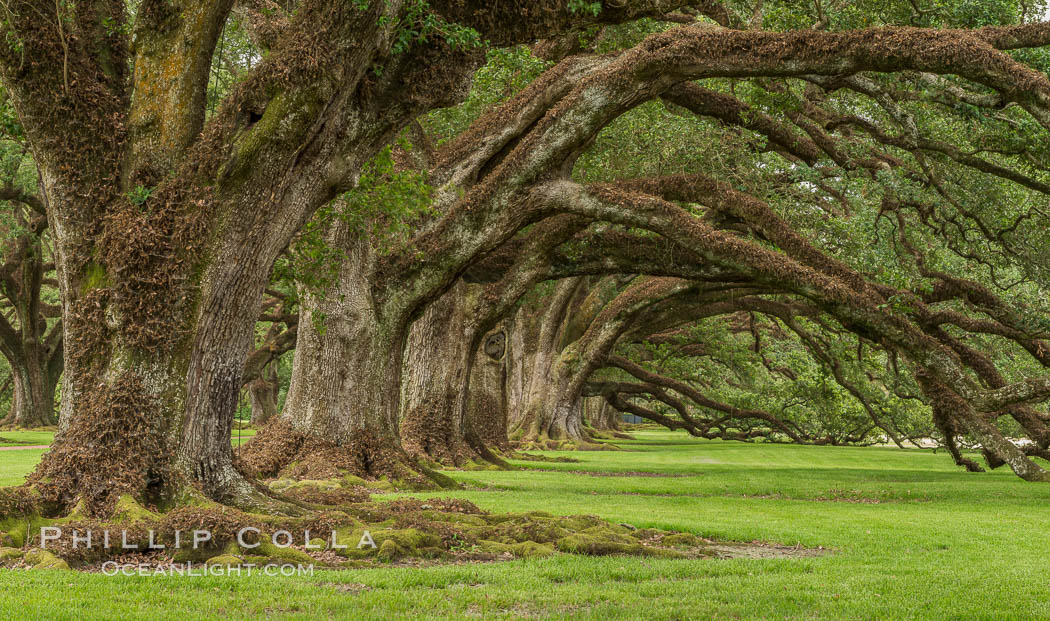 Oak Alley Plantation and its famous shaded tunnel of  300-year-old southern live oak trees (Quercus virginiana).  The plantation is now designated as a National Historic Landmark. Oak Alley Plantation, Vacherie, Louisiana, USA, Quercus virginiana, natural history stock photograph, photo id 31003