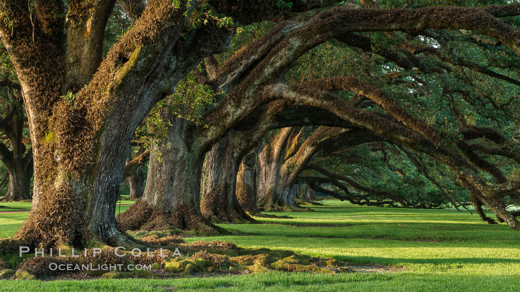 Oak Alley Plantation and its famous shaded tunnel of  300-year-old southern live oak trees (Quercus virginiana).  The plantation is now designated as a National Historic Landmark. Vacherie, Louisiana, USA, Quercus virginiana, natural history stock photograph, photo id 31017