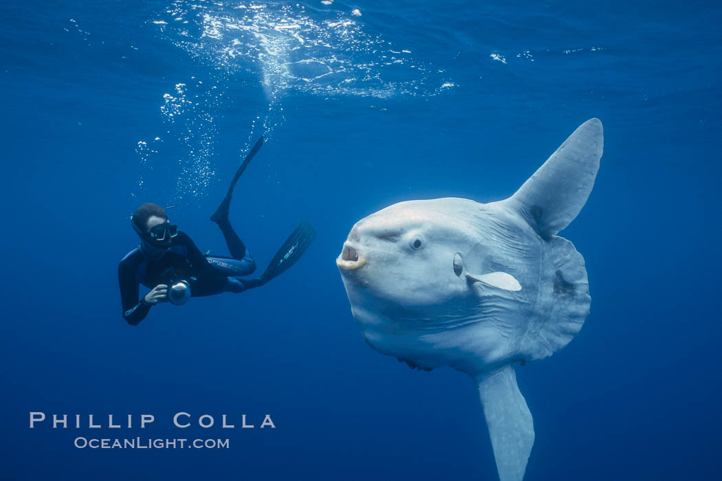 Image 03326, Ocean sunfish and photographer, open ocean. San Diego, California, USA, Mola mola, Phillip Colla, all rights reserved worldwide. Keywords: actinopterygii, animal, animalia, california, california baja california, chordata, creature, fish, freediver snorkler, indo-pacific, manbow, marine, marine fish, mola, mola mola, molidae, mondfisch, moonfish, nature, ocean, ocean sunfish, ocean sunfish - mola mola, odd, outdoors, outside, pacific, pacific ocean, pelagic, people, pesce luna, pez luna, san diego, sea, strange, submarine, sunfish, teleost fish, tetraodontiformes, underwater, usa, vertebrata, wild, wildlife.