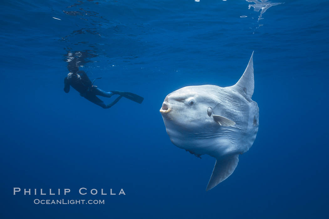 Ocean sunfish and freediving photographer , open ocean. San Diego, California, USA, Mola mola, natural history stock photograph, photo id 03835