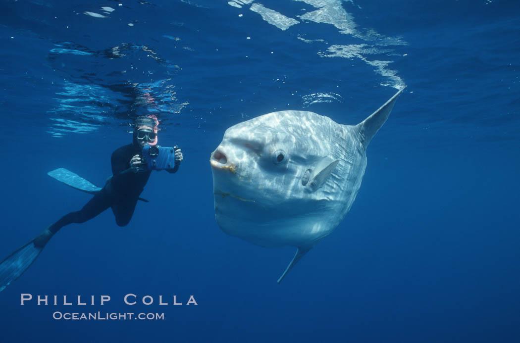 Image 02057, Ocean sunfish and videographer, open ocean. San Diego, California, USA, Mola mola