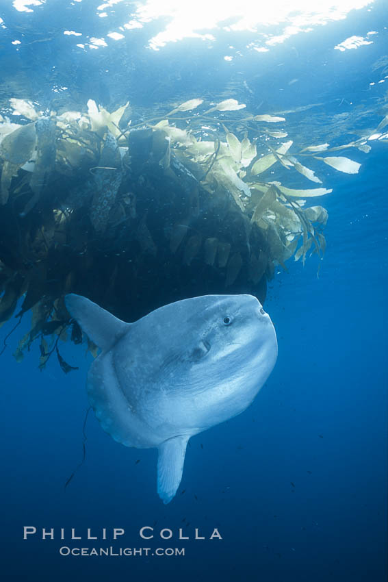 Ocean sunfish near drift kelp, soliciting cleaner fishes, open ocean, Baja California., natural history stock photograph, photo id 36318