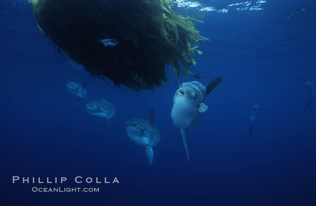 Ocean sunfish schooling, open ocean near San Diego. California, USA, Mola mola, natural history stock photograph, photo id 03620