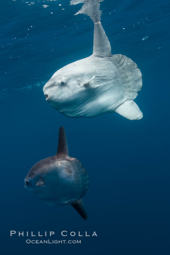 Ocean sunfish, juvenile and adult showing distinct differences in appearance, open ocean. San Diego, California, USA, Mola mola, natural history stock photograph, photo id 26052