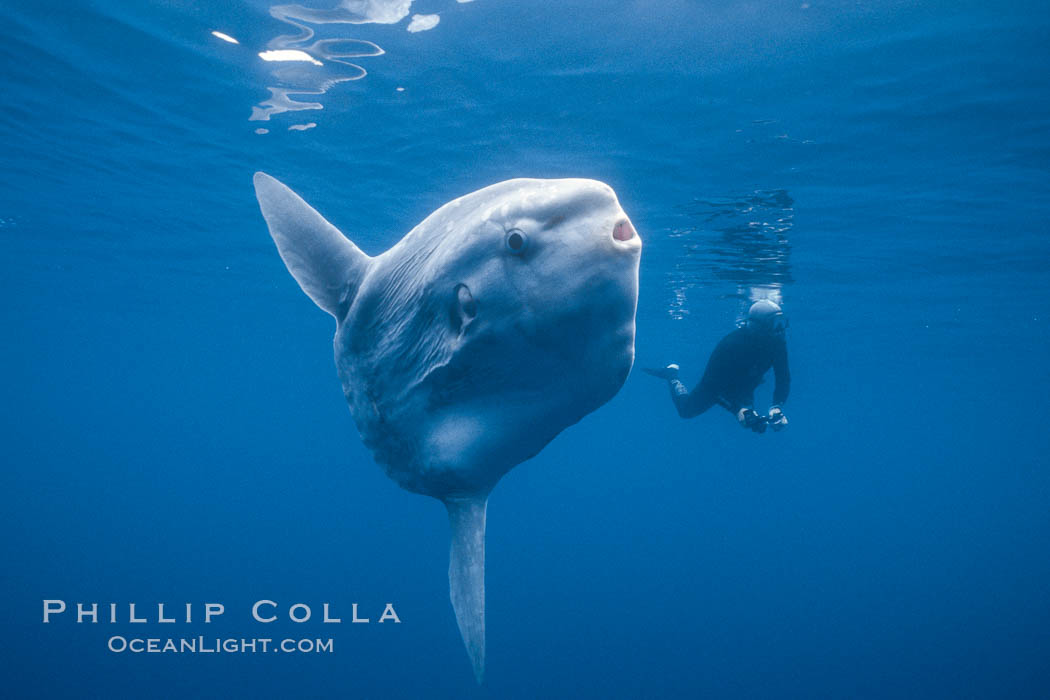 Ocean sunfish and photographer, open ocean. San Diego, California, USA, natural history stock photograph, photo id 03271