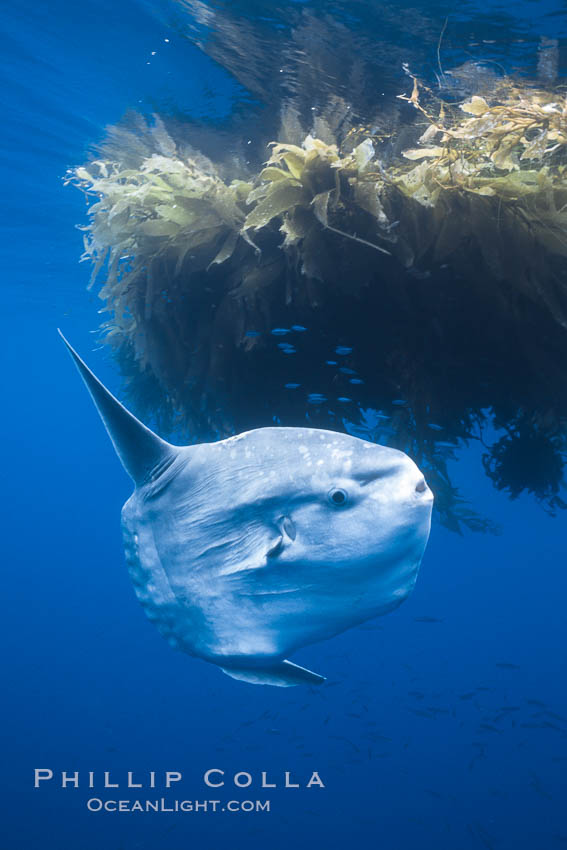 Ocean sunfish near drift kelp, soliciting cleaner fishes, open ocean, Baja California., natural history stock photograph, photo id 36315