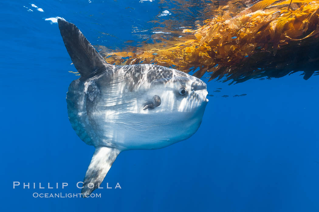 Ocean sunfish hovers near drift kelp to recruite juvenile fish to remove parasites, open ocean. San Diego, California, USA, Mola mola, natural history stock photograph, photo id 10005