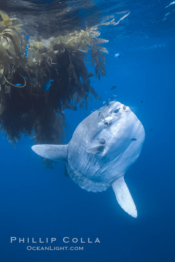 Ocean sunfish near drift kelp, soliciting cleaner fishes, open ocean, Baja California., Mola mola, natural history stock photograph, photo id 06378