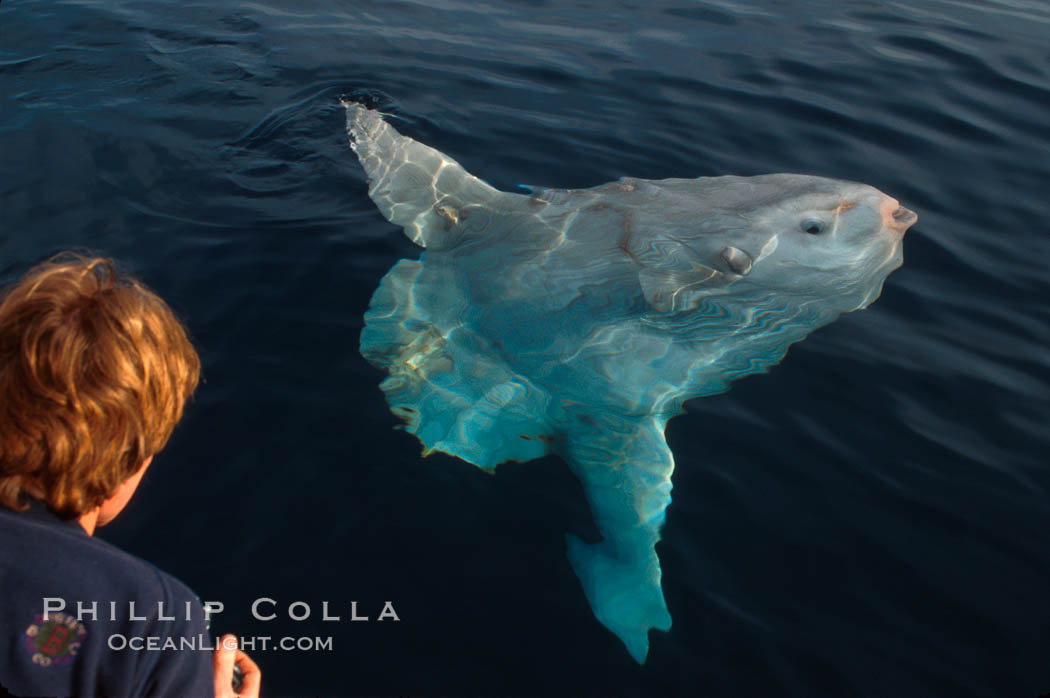 Ocean sunfish. San Diego, California, USA, Mola mola, natural history stock photograph, photo id 02028