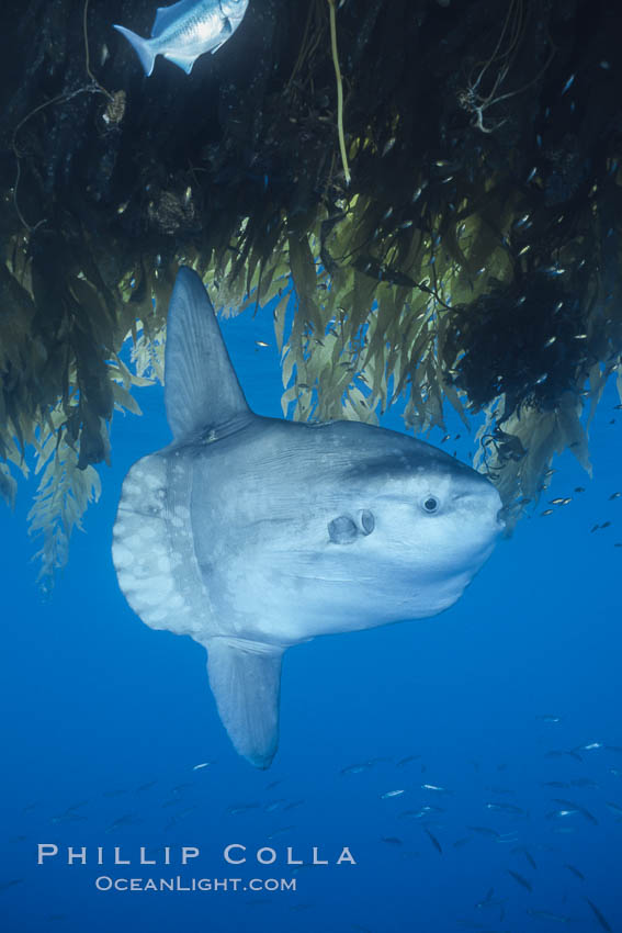 Ocean sunfish recruiting fish near drift kelp to clean parasites, open ocean, Baja California., Mola mola, natural history stock photograph, photo id 03268