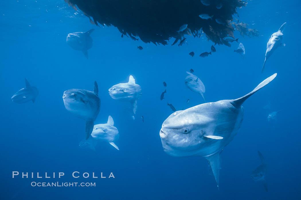 Ocean sunfish schooling near drift kelp, soliciting cleaner fishes, open ocean, Baja California., Mola mola, natural history stock photograph, photo id 06311