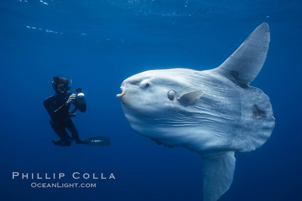 Ocean sunfish and freediving photographer, open ocean. San Diego, California, USA, Mola mola, natural history stock photograph, photo id 03325