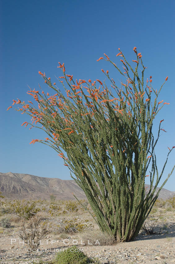 Ocotillo ablaze with springtime flowers. Ocotillo is a dramatic succulent, often confused with cactus, that is common throughout the desert regions of American southwest. Joshua Tree National Park, California, USA, Fouquieria splendens, natural history stock photograph, photo id 09174