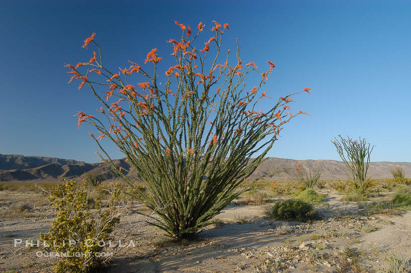Image 09180, Ocotillo ablaze with springtime flowers. Ocotillo is a dramatic succulent, often confused with cactus, that is common throughout the desert regions of American southwest. Joshua Tree National Park, California, USA, Fouquieria splendens, Phillip Colla, all rights reserved worldwide. Keywords: albarda, barda, california, candlewood, coachwhip, desert, environment, flaming sword, fouquieria splendens, jacob's staff, joshua tree, joshua tree national park, national park, national parks, nature, ocotillo, ocotillo del corral, outdoors, outside, slimwood, usa, vine cactus.