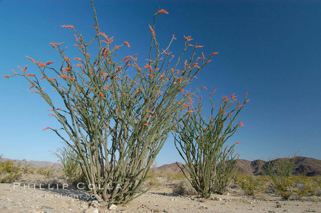 Ocotillo ablaze with springtime flowers. Ocotillo is a dramatic succulent, often confused with cactus, that is common throughout the desert regions of American southwest. Joshua Tree National Park, California, USA, Fouquieria splendens, natural history stock photograph, photo id 09165