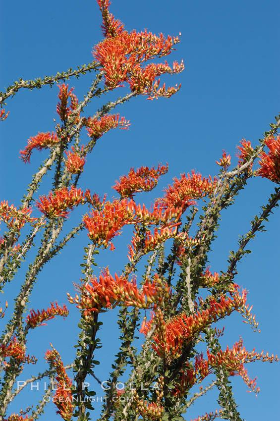 Flower detail on a blooming Ocotillo, springtime. Joshua Tree National Park, California, USA, Fouquieria splendens, natural history stock photograph, photo id 09176