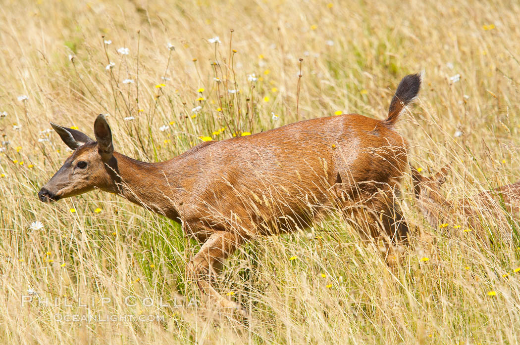 Black-tail deer (mule deer), female, summer. Lake Crescent, Olympic National Park, Washington, USA, Odocoileus hemionus, natural history stock photograph, photo id 13772