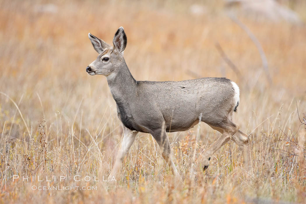 Mule deer in tall grass, fall, autumn. Yellowstone National Park, Wyoming, USA, Odocoileus hemionus, natural history stock photograph, photo id 19584