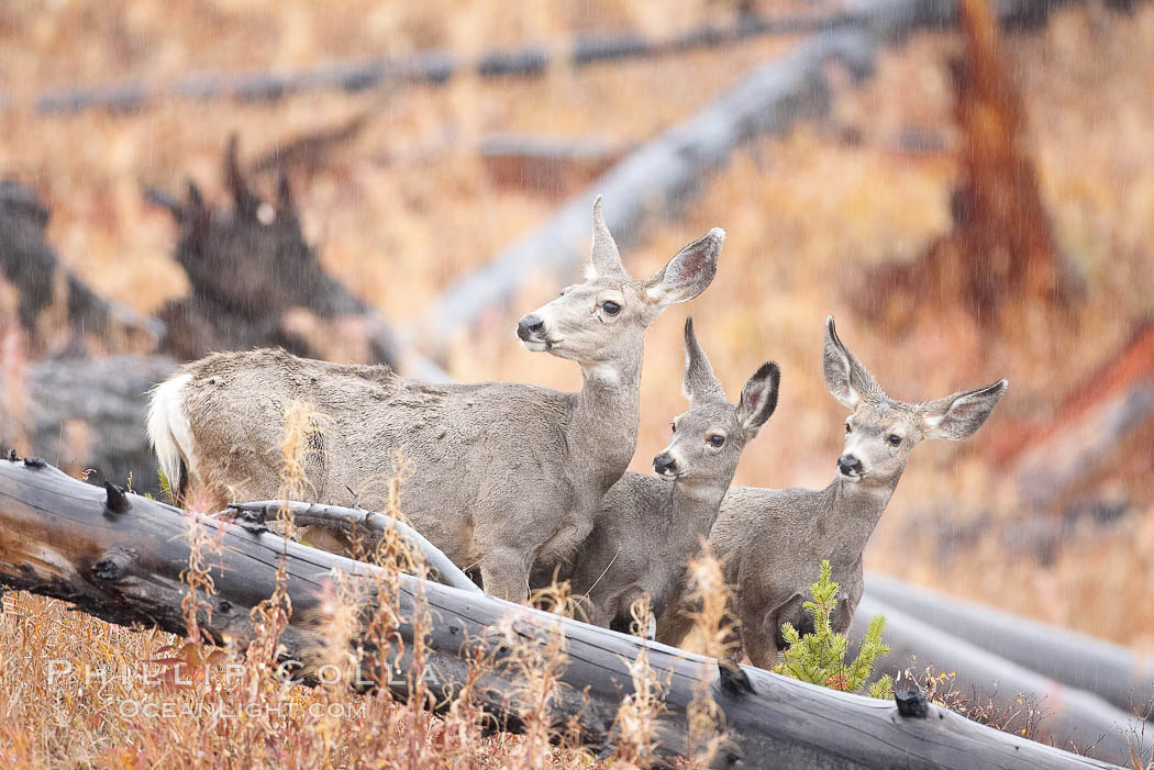 Mule deer in tall grass, fall, autumn. Yellowstone National Park, Wyoming, USA, Odocoileus hemionus, natural history stock photograph, photo id 19581