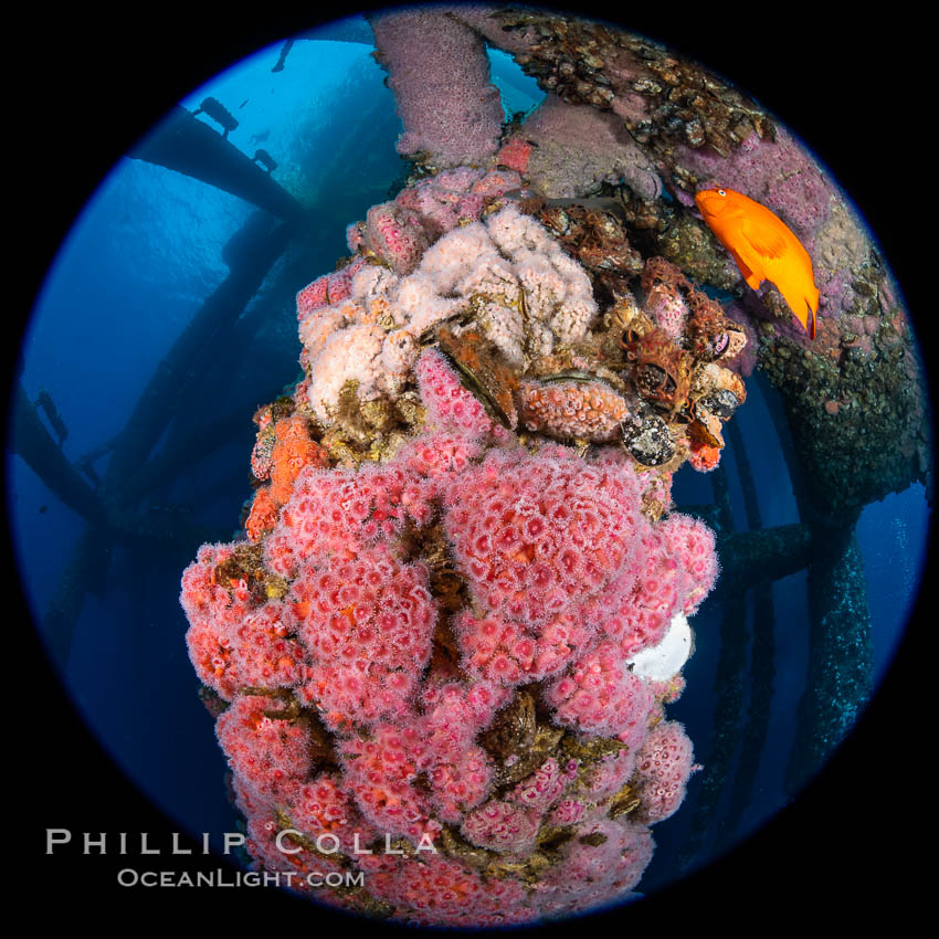 Oil Rig Eureka, Underwater Structure and invertebrate Life. Long Beach, California, USA, Corynactis californica, natural history stock photograph, photo id 34664