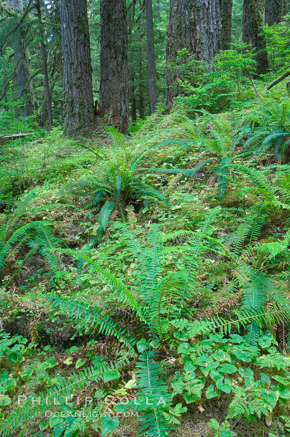 Old growth forest of douglas firs and hemlocks, with forest floor carpeted in ferns and mosses.  Sol Duc Springs. Olympic National Park, Washington, USA, natural history stock photograph, photo id 13756