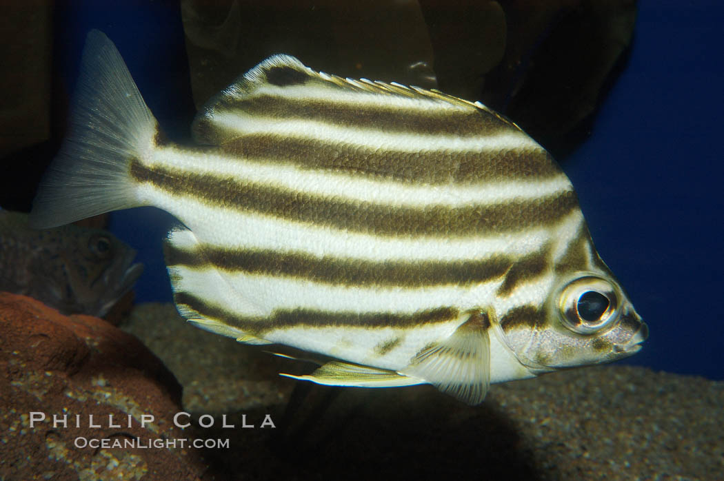 Old Wife., Enoplosus armatus, natural history stock photograph, photo id 09240