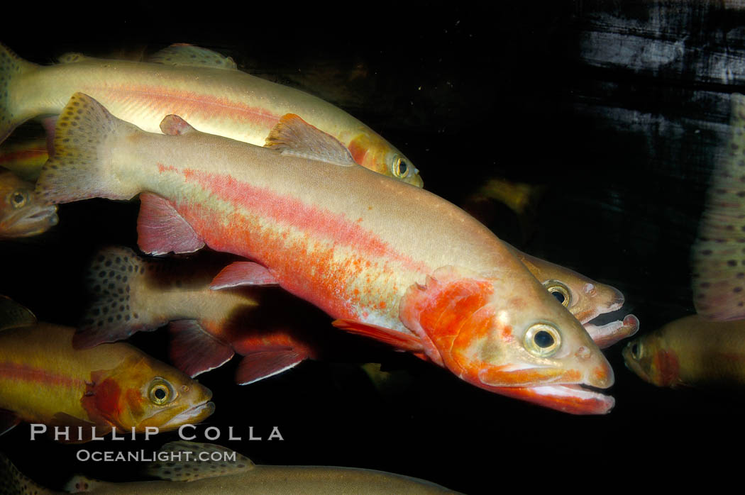 Image 09418, Golden trout., Oncorhynchus aguabonita, Phillip Colla, all rights reserved worldwide. Keywords: animal, fish, freshwater fish, golden trout, oncorhynchus aguabonita, oncorhynchus aguabonita whitei, oncorhynchus mykiss aguabonita, underwater.