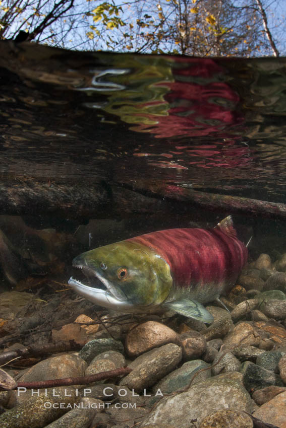 A sockeye salmon swims in the shallows of the Adams River, with the surrounding forest visible in this split-level over-under photograph. Roderick Haig-Brown Provincial Park, British Columbia, Canada, Oncorhynchus nerka, natural history stock photograph, photo id 26167
