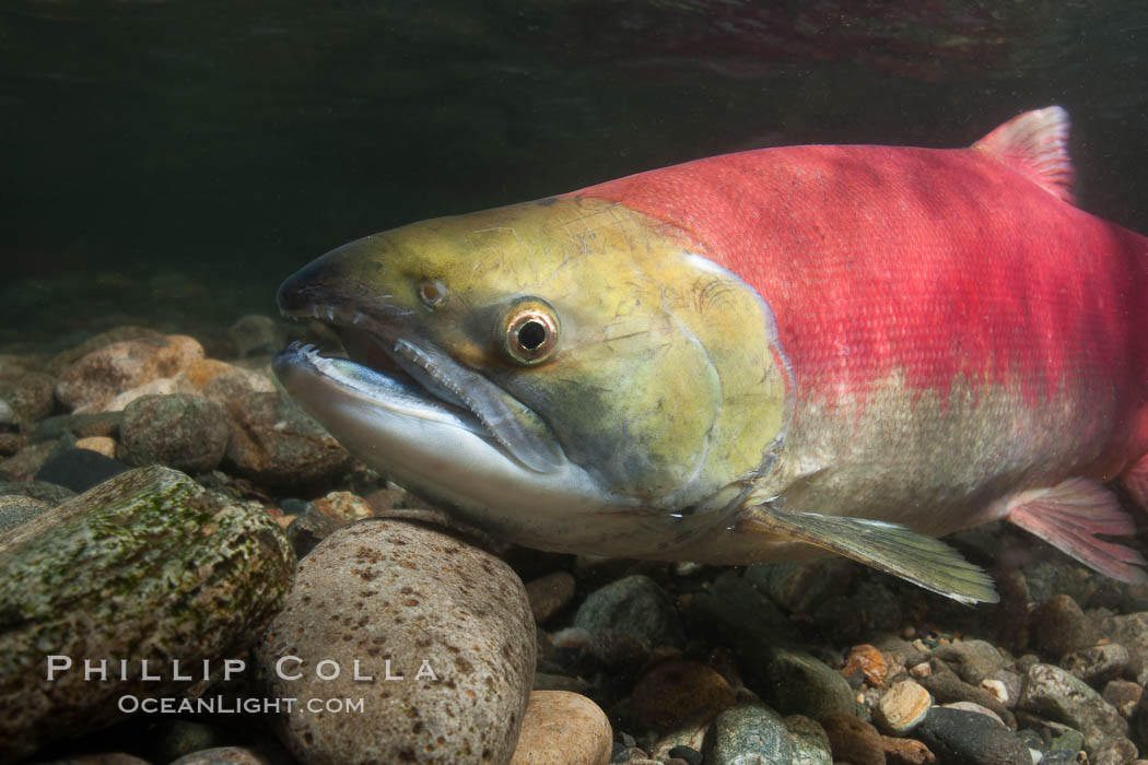 Adams River sockeye salmon.  A female sockeye salmon swims upstream in the Adams River to spawn, having traveled hundreds of miles upstream from the ocean. Roderick Haig-Brown Provincial Park, British Columbia, Canada, Oncorhynchus nerka, natural history stock photograph, photo id 26157
