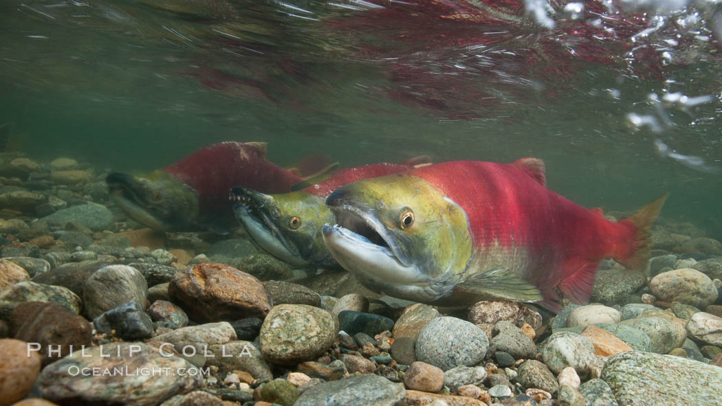Sockeye salmon, swimming upstream in the shallow waters of the Adams River.  When they reach the place where they hatched from eggs four years earlier, they will spawn and die. Roderick Haig-Brown Provincial Park, British Columbia, Canada, Oncorhynchus nerka, natural history stock photograph, photo id 26169