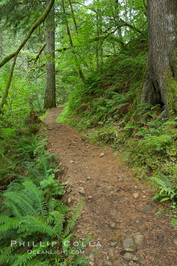 Hiking trails through a temperature rainforest in the lush green Columbia River Gorge. Oneonta Gorge, Columbia River Gorge National Scenic Area, Oregon, USA, natural history stock photograph, photo id 19362