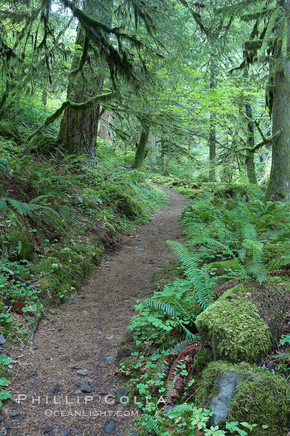 Hiking trails through a temperature rainforest in the lush green Columbia River Gorge. Oneonta Gorge, Columbia River Gorge National Scenic Area, Oregon, USA, natural history stock photograph, photo id 19360