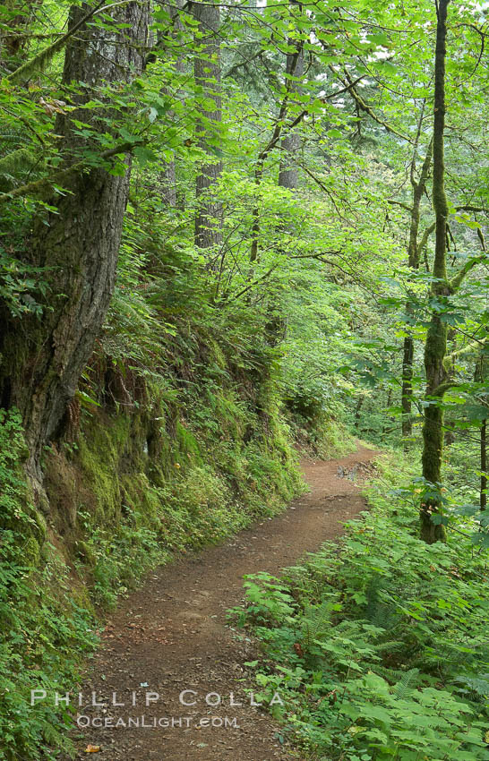 Hiking trails through a temperature rainforest in the lush green Columbia River Gorge. Oneonta Gorge, Columbia River Gorge National Scenic Area, Oregon, USA, natural history stock photograph, photo id 19359