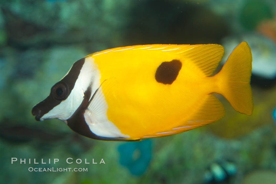 Onespot rabbitfish., Siganus unimaculatus, natural history stock photograph, photo id 12947