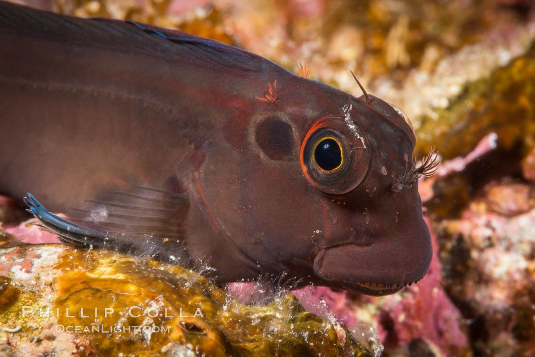 Image 33787, Ophioblennius steindachneri. Panamic Fanged Blenny, Sea of Cortez. Isla Espiritu Santo, Baja California, Mexico