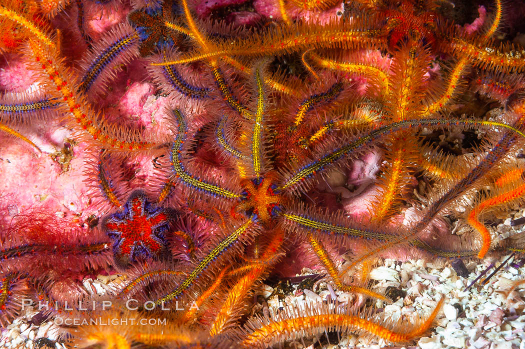 Brittle sea stars (starfish) spread across the rocky reef in dense numbers. Santa Barbara Island, California, USA, Ophiothrix spiculata, natural history stock photograph, photo id 10154