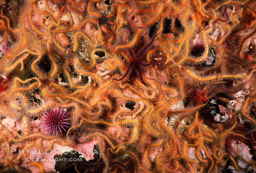 Brittle stars covering rocky reef. Santa Barbara Island, California, USA, Ophiothrix spiculata, natural history stock photograph, photo id 04721