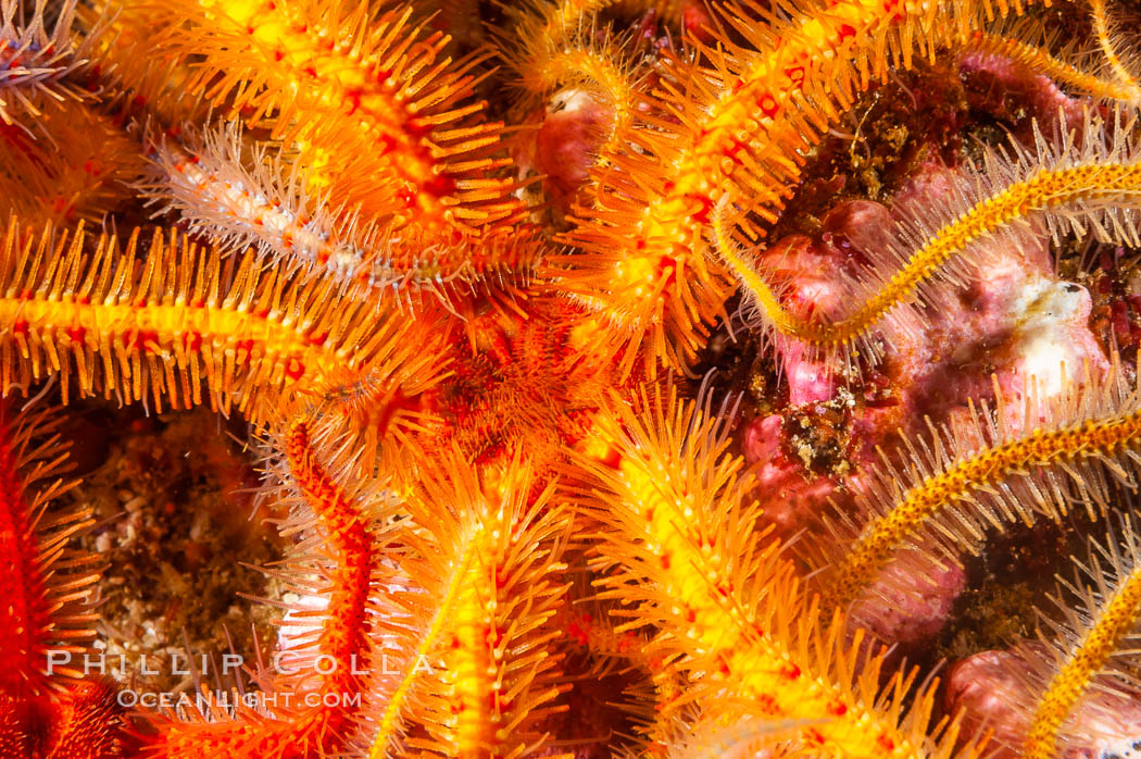 Brittle sea stars (starfish) spread across the rocky reef in dense numbers. Santa Barbara Island, California, USA, Ophiothrix spiculata, natural history stock photograph, photo id 10157